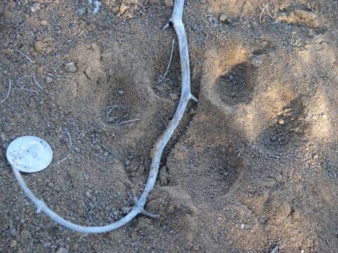 cougar_tracks.53165703_large.JPG